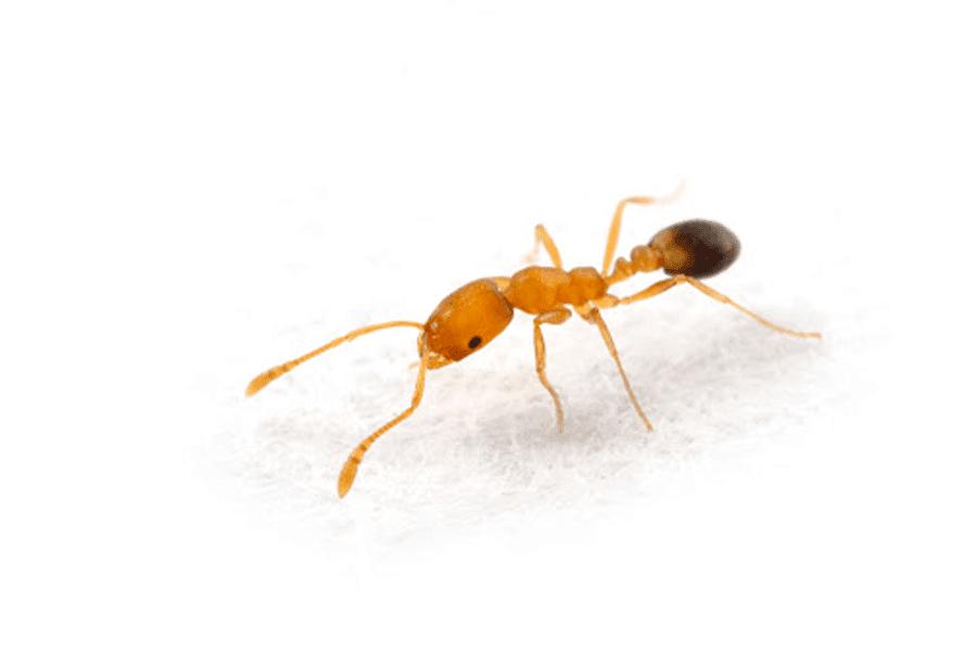 pharaohs ant