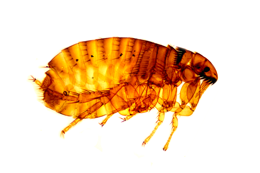 human flea